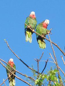 Parrot-V